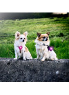 Orbiloc Dog Dual Lykt Rosa 5
